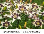 Small photo of Colorful asiatic hybrid lilies growing in summer garden. (Lilium hybridum). Dark violet lily flowers Netty's Pride close-up.