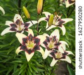 Small photo of Asiatic hybrid lilies' dark purple blossoms with white heart tips. Grade of Tango Netty's Pride (Lilium hybridum). Lily flowers growing in summer garden close up shot on a soft green background.