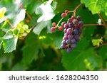 Juicy Grape Cluster Growing On...