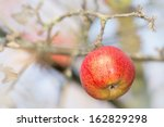 Red wet winter apple on a branch - stock photo