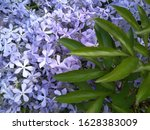 Small photo of blue phlox flowers splayed awry phlox close-up on a background of green leaves in the garden