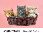 Three Maine Coon Kittens In...