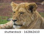 Close Up Of A Yawning Lion Cub