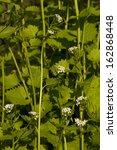 Small photo of natural herbal medicine (Alliaria petiolata) as background