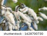 White Poplar Fluff  White...