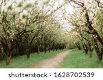 Spring Blossom Of Pear Trees In ...