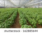 Basil Crops In An Industrial...