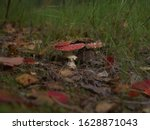 Two Fly Agaric  Amanita...