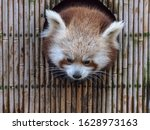 A Red Panda  Ailurus Fulgens