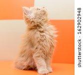 Stock photo little persian kitten sitting on the orange sofa 162902948