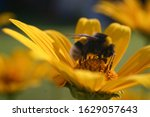 A Close Up Of A Bumblebee On A...