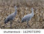 Sandhill cranes at cosumnes river preserve