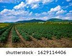 Northern Maine Potato Field...