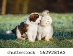 Stock photo saint bernard puppy playing with british shorthair cat 162928163