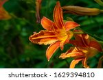 Lilium Lancifolium   Growing In ...
