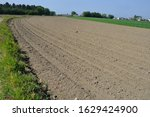 A Cornfields With Young Shoots