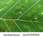 Green Teak Leaves With Many...
