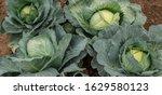 Fresh Green Cabbage In Farm...
