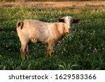 A Goat Eats Grass On A Field