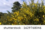 Yellow Gorse Out In Bloom In...