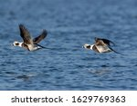 Long Tailed Duck Over The Sea