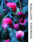 Beautiful Purple Calla Flowers...