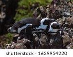 Resting African Penguin...