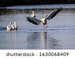 Great White Pelican  Eastern...
