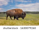Bison In Yellowstone National...