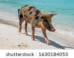 A Feral Pig In Big Major Cay ...