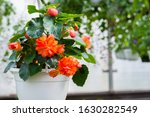 Closeup Of Begonia Plant In A...
