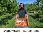 happy caucasian man with long hair in peaches orchard. he holds cardboard package box full of fresh and ripe picked Peach fruits, Okanagan Valley.