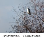 Black Winged Kite  Black...