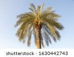 Silver Date Palm Tree In A...