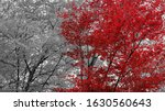 Selective Focus Of Red Leaves...