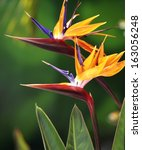 Two Bird Of Paradise Flowers I...