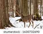 White Tailed Deer  Doe And Faw...