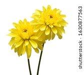 Two Dahlia Flower Head Yellow...