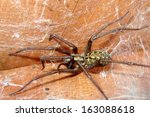 Small photo of Tegenaria agrestis - Hobo Spider