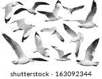 Monochrome White Birds   Gull ...