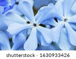 Blue Lilac Flowers  Flowers Of...