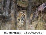 Kanha Tiger On Scent Marking...