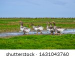 Domestic Goose  Anser Cygnoide...