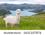 Small photo of Furry white alpaca grazing in a bucolic green meadow with the sea and mountains in the background