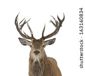 Red Deer Head And Antler...