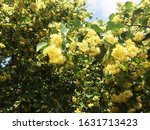 Linden Blossom On A Green Tree...
