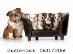 Stock photo dog family english bulldog father sitting beside litter of four puppies sitting on couch isolated 163175186