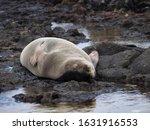 Hawaiian Monk Seal Napping At...