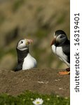 puffin pair | Shutterstock . vector #16319401