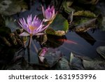 Photograph Of A Water Lily ...